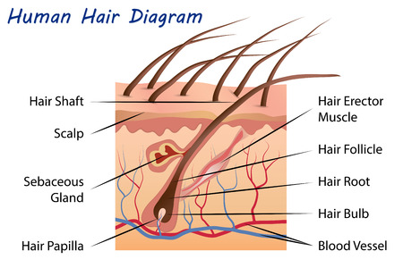 Human Hair Diagram